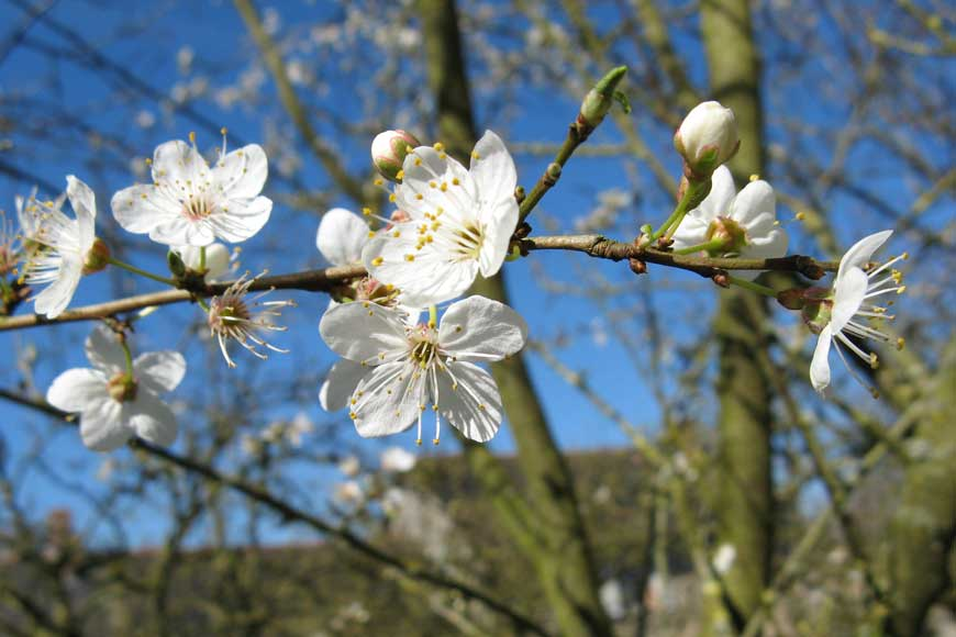 Taille de fruitiers saison services entretien de for Entretien jardin angers