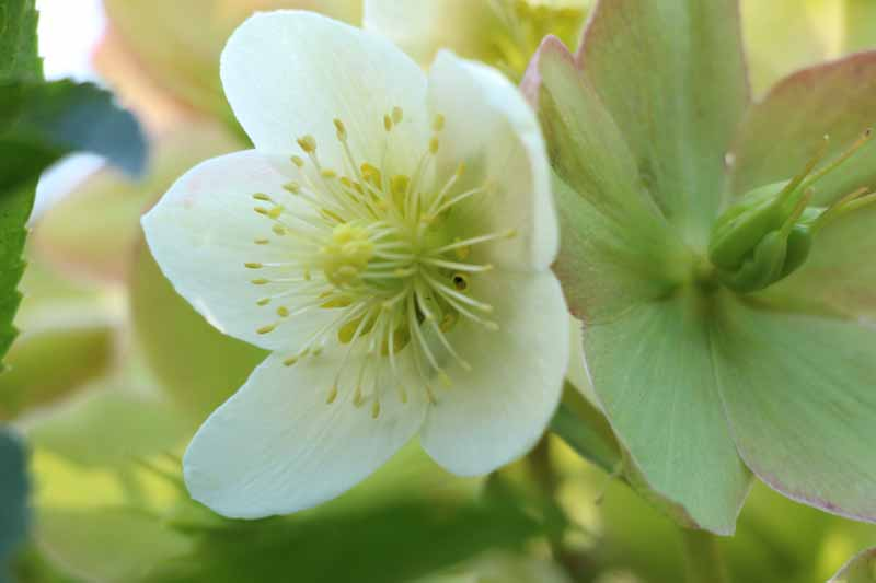hellebore-vivace-couleur-jardin-3