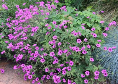 geranium_vivace_paysagiste_angers_2