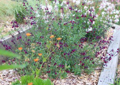 massif_vivace_jardiniere_chene_paillage_copeaux_salvia_paysagiste_angers