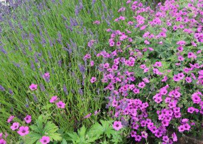 plantations_massif_geranium_vivace_lavande_couleur_jardin