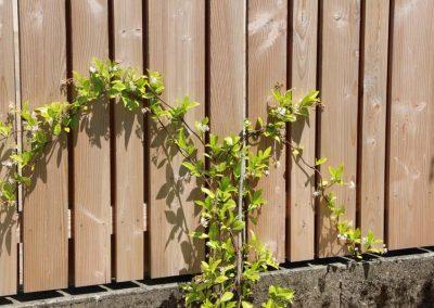 grimpante_palissade_bois_trachelospernum_jasminoides_couleur_jardin