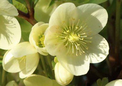 hellebore-vivace-couleur-jardin-1