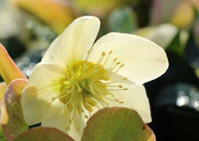 hellebore-vivace-couleur-jardin-2