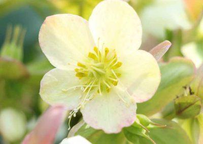 hellebore-vivace-couleur-jardin-4